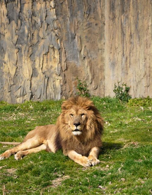 石岳亜熱帯動植物園のライオン