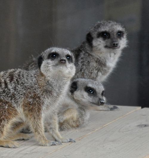 石岳亜熱帯動植物園のミーアキャット