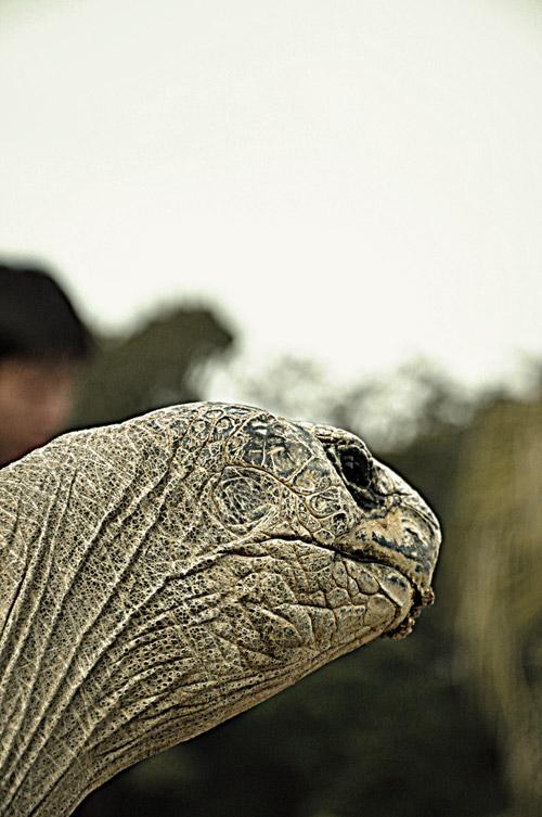 石岳亜熱帯動植物園(佐世保市船越町)のゾウガメ