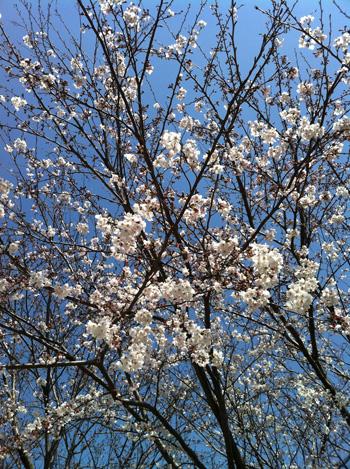 事務所の前の桜