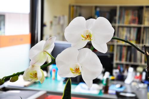 新しい花を咲かせた胡蝶蘭