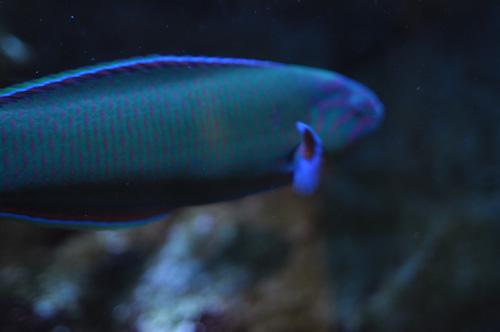 海きららの魚